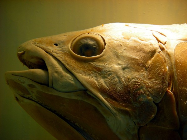 Coelacanth london