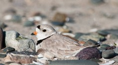 Science Times - Endangered Birds 'Monty,' 'Rose,' Lay Eggs at a Chicago Beach: Great Lakes Piping Plovers Expand Their Flock