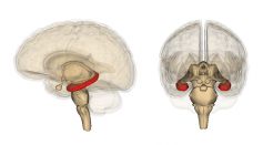 Brain's Memory Center Can Recognize and Learn Patterns Even During 'Infantile Amnesia'