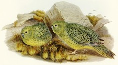Largest Known Night Parrot Population Recorded Since It Was First Photographed in 2015