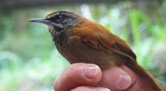 Science Times - Duetting Songbird Mute Their Partner's Musical Mind So They Can Stay in Sync, Research Reveals