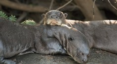Giant otters (Pteronura brasiliensis)
