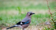 Science Times - Magic Tricks Don't Work for All Birds; At Least Not with Eurasian Jays