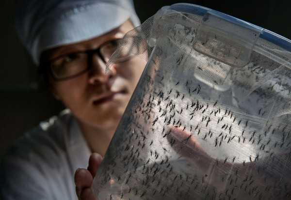 World's Largest Mosquito Factory Aims To Prevent Zika