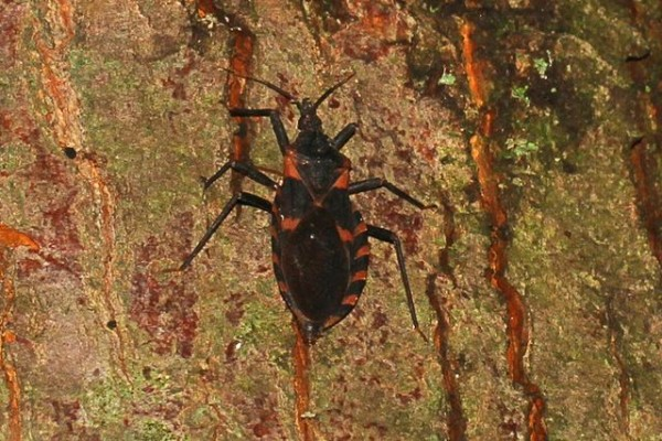 Science Times - Kissing Bugs That Cause Chagas Disease Detected in Nebraska; Nebraskans Asked to Look Out for These Blood-Sucking Insects