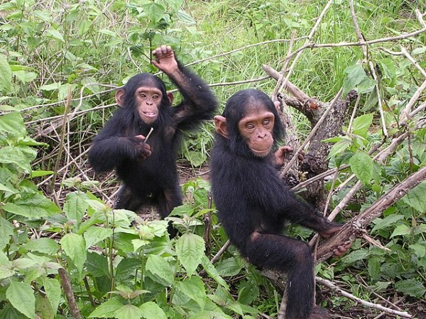 Science Times - Wild Chimpanzee Orphans Can More Easily Overcome Stress from Loss of Their Mother, Study Shows