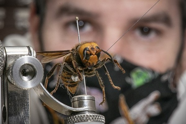 Science Times - Giant Murder Hornet: This Year's First Discovery of the Insect in a New US Location