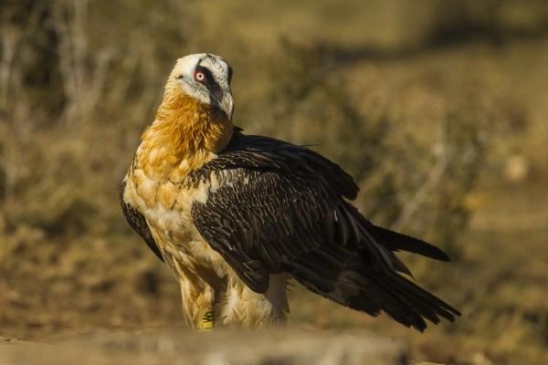 Bearded Vulture - Catalan Pyrenees - Spain