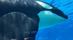 Science Times - Killer Whales Have 'Close Friendships' Too, Their Social Lives Shown in Drone Footage