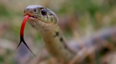 Snakes Use Their Forked Tongues to Smell, Scientist Reveals