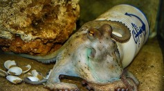 Science Times - Pipe Pushing Octopus: Watch How This 8-Legged Invertebrate Animal Rolls Plastic Material Into Ocean with Eggs