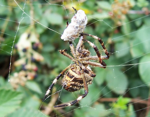 Science Times - Snake-Eating Spiders: Research Shows How These Arthropods Feast on Serpents