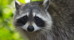 Rabies in Raccoon Reported in Raritan Township; Residents are Advised to Get Vaccinated, Stay Away from Stray Animals