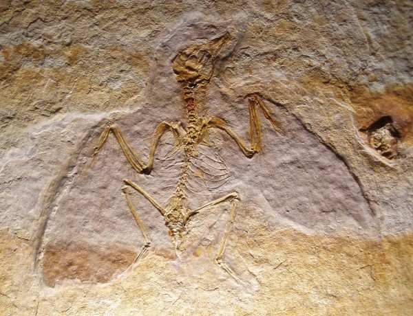 fossil juvenile enantiornithine