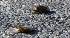 Why are Hundreds of Birds in the US Dying? Scientists are Investigating the Cause of their Deaths