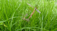 Mosquito Mating Song Shapes Offspring Immune Response Against Viruses and Bacteria