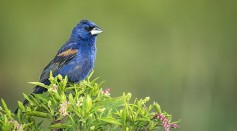 Science Times - Migratory Songbirds Can Sense Earth's Magnetic Field, Quantum Mechanism Introduced in New Study