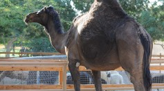 How Do Arabian Camels Travel 100 Miles of Desert and Endure Weeks Without Water?