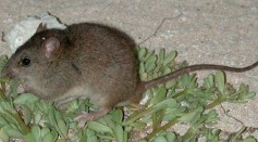 Science Times - Extinct 'Shark Bay' Mouse Comes Back from the Dead, Astonishing Discovery Shows