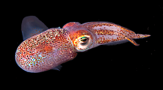 Phylogenetic Analyses on Bobtail Squids Shed Light on their Evolution and Diversification