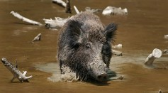 Science Times - Wild Boars Mating with Pigs, Creating New Hybrid Species, New Study Reveals
