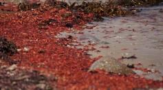 MBNMS - pelagic red crabs (27230142014).jpg