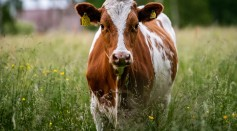 First Cloned Cow in Russia Opens Hope to Producing Lactose-Free Milk