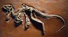 Heterodontosaurus tucki cast - University of California Museum of Paleontology - Berkeley, CA - DSC04696.JPG