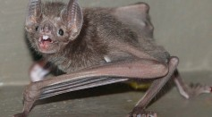 Science Times - Female Vampire Bats Found Grooming, Sharing Food; Opposite the Behavior Seen in Some Primates, According to Study