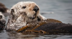 Science Times - Sea Otters May Be Adapted to Cold but Should Die in Freezing Water, A New Study Reveals