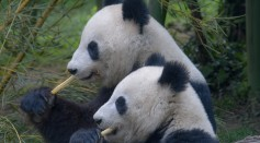 Giant Pandas in China No Longer Extinct After Decades of Conservation