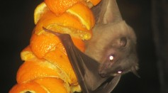 Neural Activity of Bats' Hippocampus Reveals An Important Mammalian Built-In Navigation System