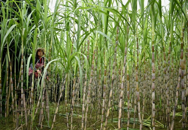 Science Times - First Successful Precision Breeding Of Sugarcane Through CRISPR/cas9 Revealed In 2 Studies