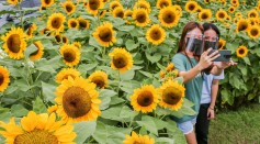 A Sunflower Field in the Philippines