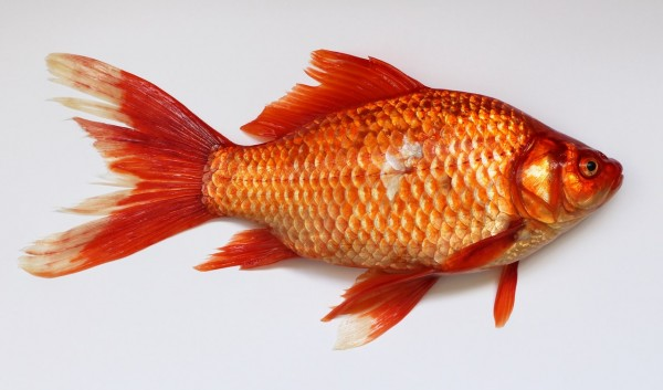 red-fish-45910
