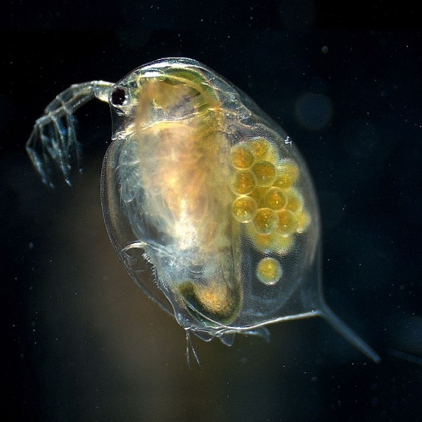 Science Times - Water flea Evolution: New Study Shows How These Microscopic Animals Rapidly Evolve, Identifies More Than 300 Varying Genes