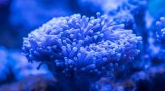 blue-sea-anemone-920160