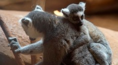 Science Times - Largest Lemurs With Weight Similar to Adult Humans Found To Have Attained Their Gigantic Size by Eating Leaves