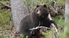 Female Grizzly Bear Seen in Washington State for the First Time After 40 Years, Fitting it With Radio Collar