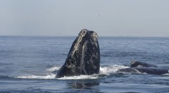 Science Times - Ships Exceeding Speed Limits Put North Atlantic Right whales to Danger, Study Reveals