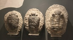 Science Times - Mangled Trilobite Discovered in Czechia, Possibly Attacked by a Giant Sea Scorpion 450 Million years Ago