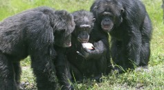 Chimpanzees Involve in Lethal Attacks Against Gorillas Seen for the First Time