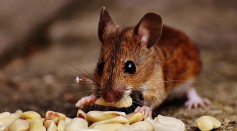 Dopamine Impulses Can Be Controlled in the Brain of Mice in Anticipation of Rewards