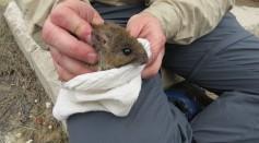 Bush Rat at North Head Sanctuary
