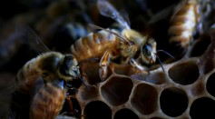 Australian Apiarists Work To Increase Bee Populations As Habitat Loss And Climate Events Threaten Future Of Vital Pollinators