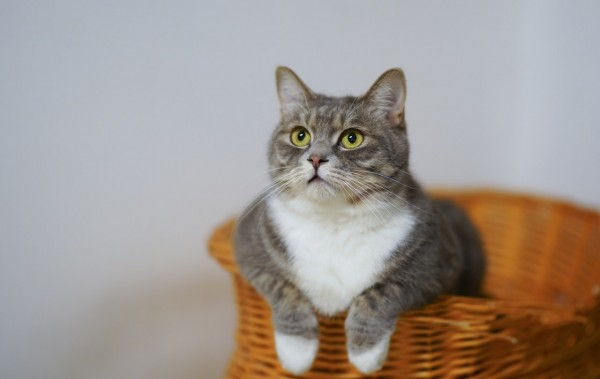 white-and-gray-cat-in-brown-woven-basket-1543793
