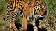 Sumatran Tigers in Indonesia Recovering From COVID-19 that Came From Unknown Cause