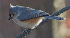 Science Times - Tufted Titmouse: This Bird Species is Fur Thief of Live Predators, New Study Reveals