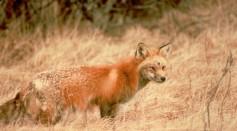 Sierra Nevada red fox in the grass (6602097771).jpg