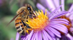 Science Times - Bees, Other Pollinators, Pollination Under Threat Due to Environmental Pressures: Study Shows Impacts of Pesticides on These Pollinators